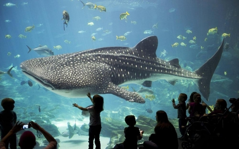 Little girl looking at large whale shark through glass wall at aquarium.
