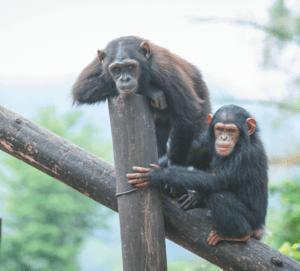 Chimps at the Ngamba Island Chimpanzee Sanctuary